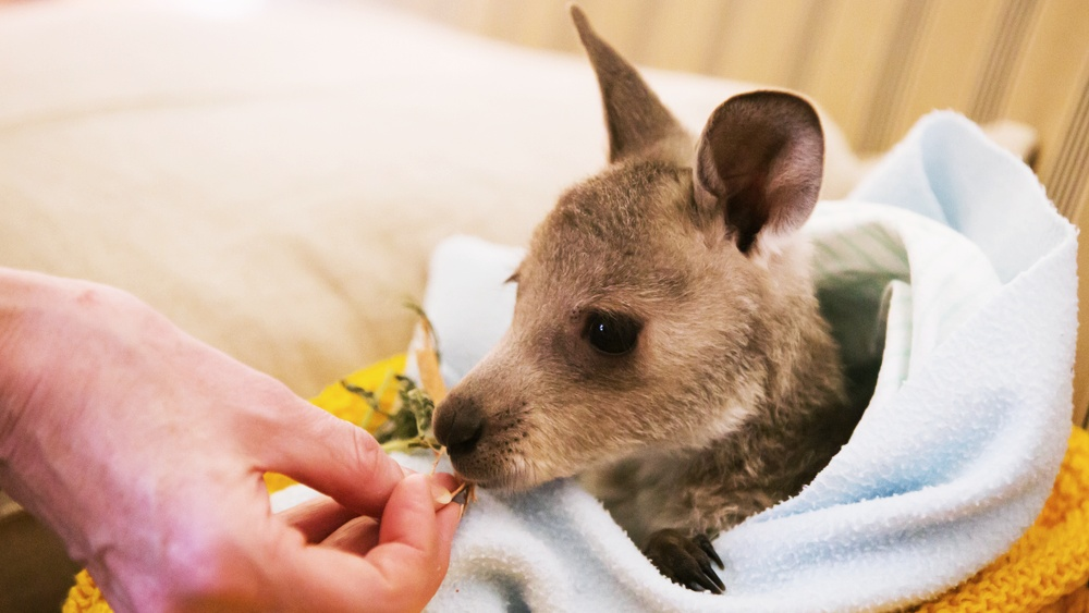 Adopt an orphaned joey